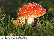 Купить «Amanita (Мухомор)», эксклюзивное фото № 2836080, снято 2 октября 2011 г. (c) Александр Тарасенков / Фотобанк Лори