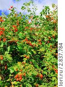 Купить «Куст шиповника  с плодами», фото № 2837784, снято 9 сентября 2011 г. (c) Vitas / Фотобанк Лори