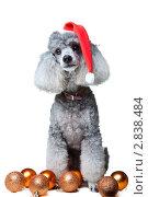 Купить «Пудель в новогоднем колпаке», фото № 2838484, снято 26 июня 2011 г. (c) Irina Danilova / Фотобанк Лори