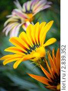 Три цветка газании. Стоковое фото, фотограф Алёна Новожилова / Фотобанк Лори