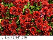 Куст красных хризантем. Стоковое фото, фотограф Александр Овчинников / Фотобанк Лори