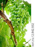 Зеленый виноград на лозе. Стоковое фото, фотограф IEVGEN IVANOV / Фотобанк Лори