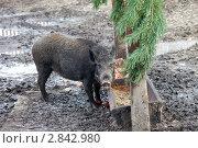 Купить «Дикий кабан в зоопарке», фото № 2842980, снято 1 октября 2011 г. (c) FotograFF / Фотобанк Лори