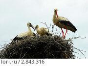 Аист в гнезде с птенцами. Стоковое фото, фотограф Игорь Ткачёв / Фотобанк Лори