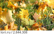 Купить «Опавшие кленовые листья», видеоролик № 2844308, снято 4 октября 2011 г. (c) Сергей Лаврентьев / Фотобанк Лори