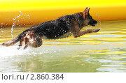 Купить «Овчарка прыгающая в воду», фото № 2860384, снято 26 июля 2011 г. (c) Федюхина Татьяна / Фотобанк Лори