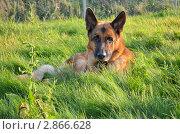 Немецкая овчарка на траве. Стоковое фото, фотограф Выбиранец Елена / Фотобанк Лори