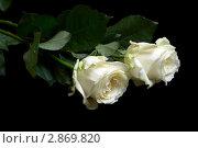 Две белые розы на черном фоне. Стоковое фото, фотограф Александра Прохорова / Фотобанк Лори