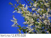 Купить «Необыкновенная черёмуха», фото № 2870028, снято 23 мая 2011 г. (c) Дамир / Фотобанк Лори