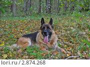 Немецкая овчарка в лесу. Стоковое фото, фотограф Выбиранец Елена / Фотобанк Лори