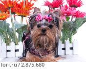 Купить «Щенок йоркширского терьера с цветами», фото № 2875680, снято 9 апреля 2011 г. (c) Ирина Игумнова / Фотобанк Лори