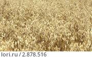 Купить «Ячмень», видеоролик № 2878516, снято 16 августа 2011 г. (c) Павел Коновалов / Фотобанк Лори