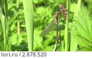 Купить «Рождение стрекозы», видеоролик № 2878520, снято 25 мая 2011 г. (c) Андрей Ежов / Фотобанк Лори