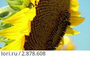 Купить «Пчела на подсолнухе», видеоролик № 2878608, снято 17 августа 2011 г. (c) Павел Коновалов / Фотобанк Лори