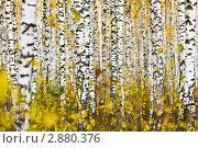 Купить «Березовая роща», фото № 2880376, снято 9 октября 2011 г. (c) DENIS KARPOV / Фотобанк Лори