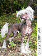 Купить «Собака породы китайская хохлатая», фото № 2881944, снято 18 марта 2018 г. (c) RedTC / Фотобанк Лори