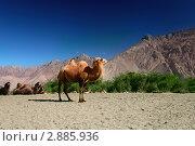 Купить «Верблюды в песчаной долине Нубра. Ладакх. Индия», фото № 2885936, снято 7 сентября 2011 г. (c) Татьяна Белова / Фотобанк Лори