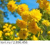 Купить «Золотые шары (рудбекия эхинацея)», фото № 2896456, снято 6 августа 2011 г. (c) ИВА Афонская / Фотобанк Лори