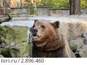 Портрет бурого медведя. Стоковое фото, фотограф Выбиранец Елена / Фотобанк Лори
