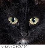 Купить «Морда черного кота», фото № 2905164, снято 20 октября 2011 г. (c) Воронин Владимир Сергеевич / Фотобанк Лори