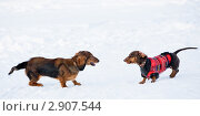 Купить «Зимние игры такс», фото № 2907544, снято 5 января 2010 г. (c) Артём Сапегин / Фотобанк Лори