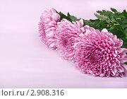 Три розовых хризантемы. Стоковое фото, фотограф Наталья Райхель / Фотобанк Лори