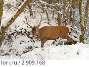 Купить «Красный олень переходит ручей в зимнем лесу», фото № 2909168, снято 19 декабря 2010 г. (c) Татьяна Кахилл / Фотобанк Лори