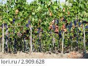 Купить «Виноградник», фото № 2909628, снято 12 сентября 2011 г. (c) Николай Винокуров / Фотобанк Лори