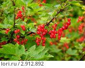 Купить «Красная смородина. (Ribes rubrum)», эксклюзивное фото № 2912892, снято 3 июля 2010 г. (c) Алёшина Оксана / Фотобанк Лори