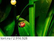 Божья коровка на зеленом листке. Стоковое фото, фотограф Александр Петров / Фотобанк Лори