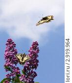 Бабочки махаон на цветах сирени и в полете, на фоне неба. Стоковое фото, фотограф Юрий Мураховский / Фотобанк Лори