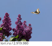 Бабочка махаон в полете над цветами сирени на фоне голубого неба. Стоковое фото, фотограф Юрий Мураховский / Фотобанк Лори