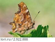 Бабочка углокрыльница на зеленом листе. Стоковое фото, фотограф Юрий Мураховский / Фотобанк Лори