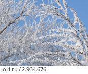 Ветви покрытые инеем на фоне голубого неба. Стоковое фото, фотограф Захаренко Дмитрий / Фотобанк Лори