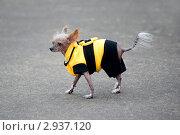 Купить «Забавная собачка породы китайская хохлатая в костюмчике пчелки», эксклюзивное фото № 2937120, снято 6 октября 2011 г. (c) Сайганов Александр / Фотобанк Лори