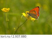Бабочка на лютике. Стоковое фото, фотограф Елена Фомичева / Фотобанк Лори