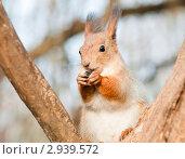 Купить «Белка грызёт семечки», эксклюзивное фото № 2939572, снято 7 ноября 2011 г. (c) Игорь Низов / Фотобанк Лори