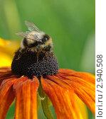 Купить «Шмель на цветке», фото № 2940508, снято 22 августа 2011 г. (c) Александр Лебедев / Фотобанк Лори