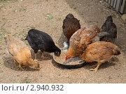 Цыплята смешанных пород. Стоковое фото, фотограф Елена Семистенова / Фотобанк Лори