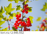 Купить «Красная смородина. (Ribes rubrum)», эксклюзивное фото № 2945932, снято 4 июля 2010 г. (c) Алёшина Оксана / Фотобанк Лори