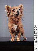 Купить «Собака в стойке», эксклюзивное фото № 2957000, снято 21 сентября 2018 г. (c) Яна Королёва / Фотобанк Лори
