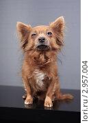 Купить «Коричневая маленькая собака», эксклюзивное фото № 2957004, снято 21 сентября 2018 г. (c) Яна Королёва / Фотобанк Лори