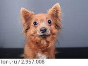 Купить «Портрет собаки с большими выразительными глазами», эксклюзивное фото № 2957008, снято 21 сентября 2018 г. (c) Яна Королёва / Фотобанк Лори
