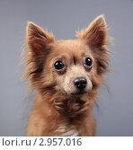 Купить «Портрет красивой коричневой собачки с большими выразительными глазами», эксклюзивное фото № 2957016, снято 21 сентября 2018 г. (c) Яна Королёва / Фотобанк Лори