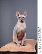Купить «Кошка породы Донской сфинкс», фото № 2957024, снято 21 сентября 2018 г. (c) Яна Королёва / Фотобанк Лори