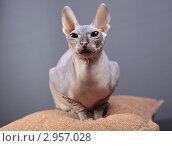 Купить «Кошка породы Донской сфинкс», фото № 2957028, снято 21 сентября 2018 г. (c) Яна Королёва / Фотобанк Лори