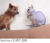 Купить «Маленькая собачка и кошка породы Донской сфинкс сидят друг напротив друга», фото № 2957208, снято 21 сентября 2018 г. (c) Яна Королёва / Фотобанк Лори