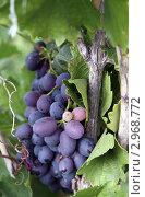 Спелый виноград в саду. Стоковое фото, фотограф Ирина Таболина / Фотобанк Лори
