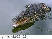 Крокодил в воде. Стоковое фото, фотограф Дмитрий Перельман / Фотобанк Лори