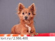 Купить «Маленькая рыжая собачка на сером фоне», эксклюзивное фото № 2986400, снято 19 сентября 2018 г. (c) Яна Королёва / Фотобанк Лори